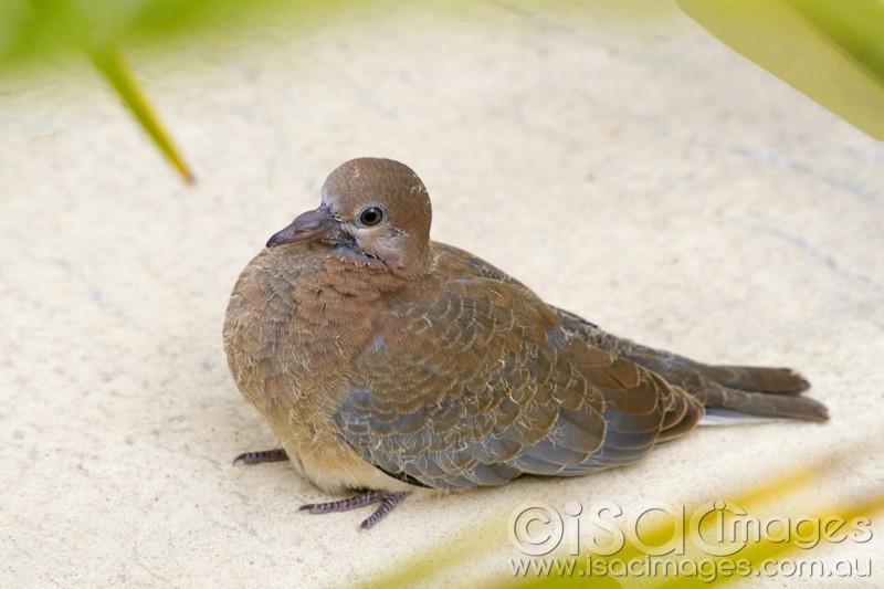 Baby Pigeon - Australian Photoholics Forum