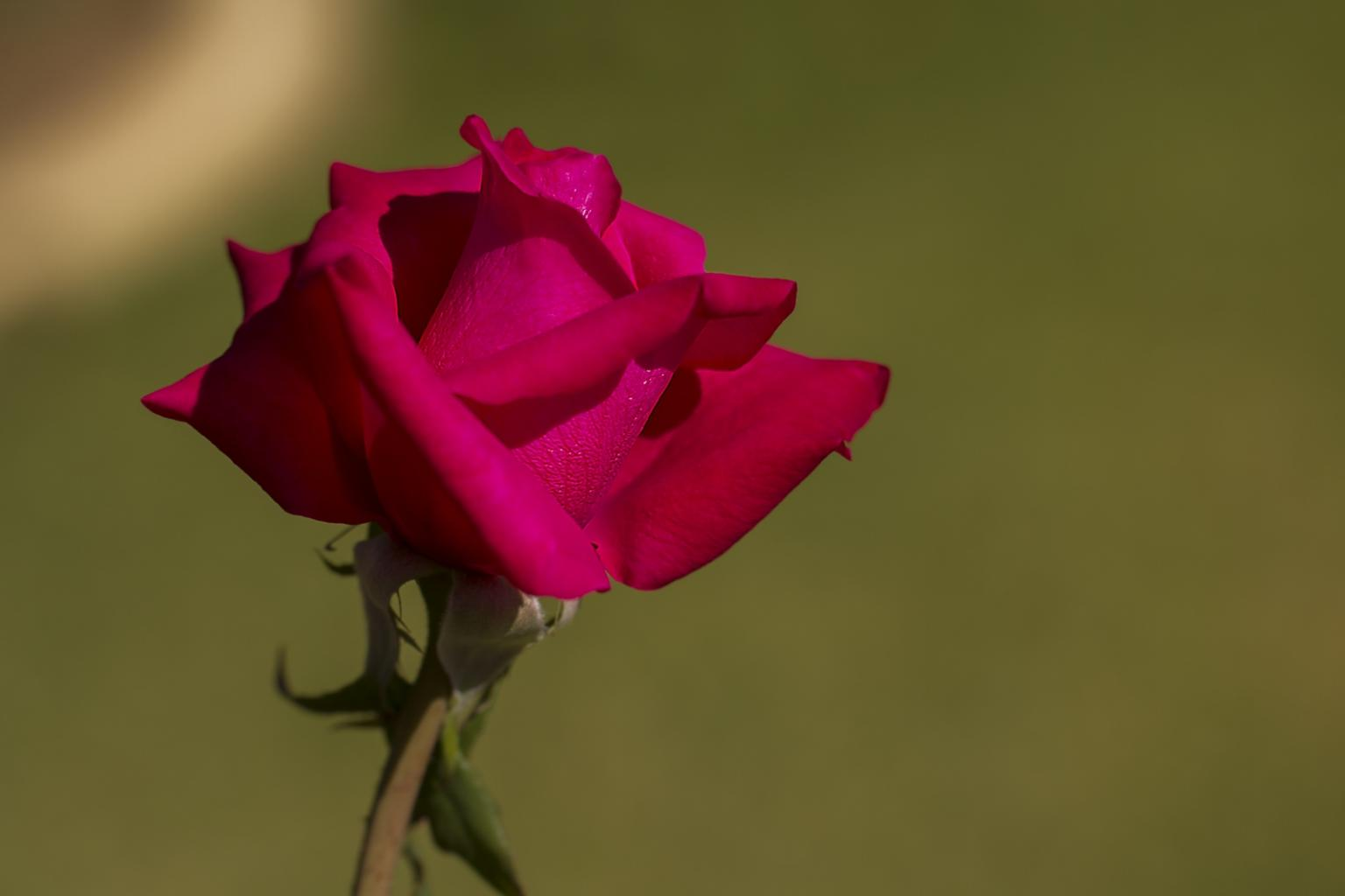 Click image for larger version  Name:Red Rose-3 - Small.jpg Views:1 Size:49.0 KB ID:28590