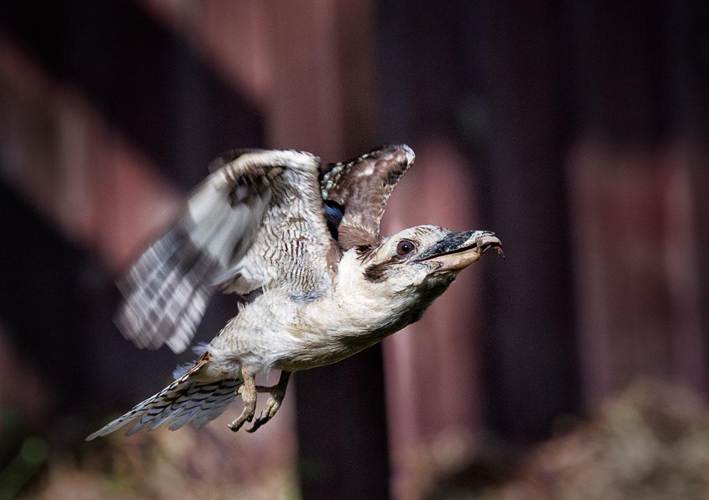 Name:  Kookaburras_20121229_0025_02_sml.jpg Views: 1 Size:  150.2 KB