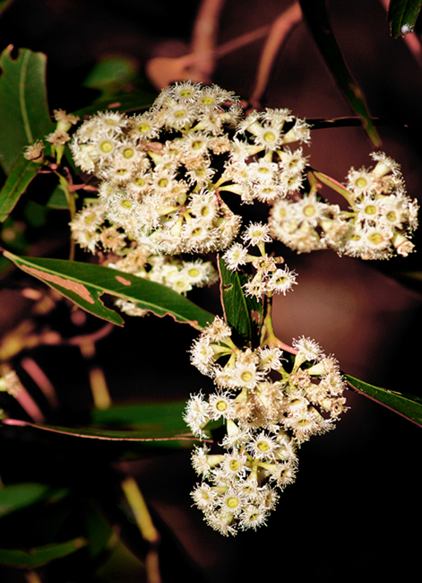 Name:  white flowers.jpg