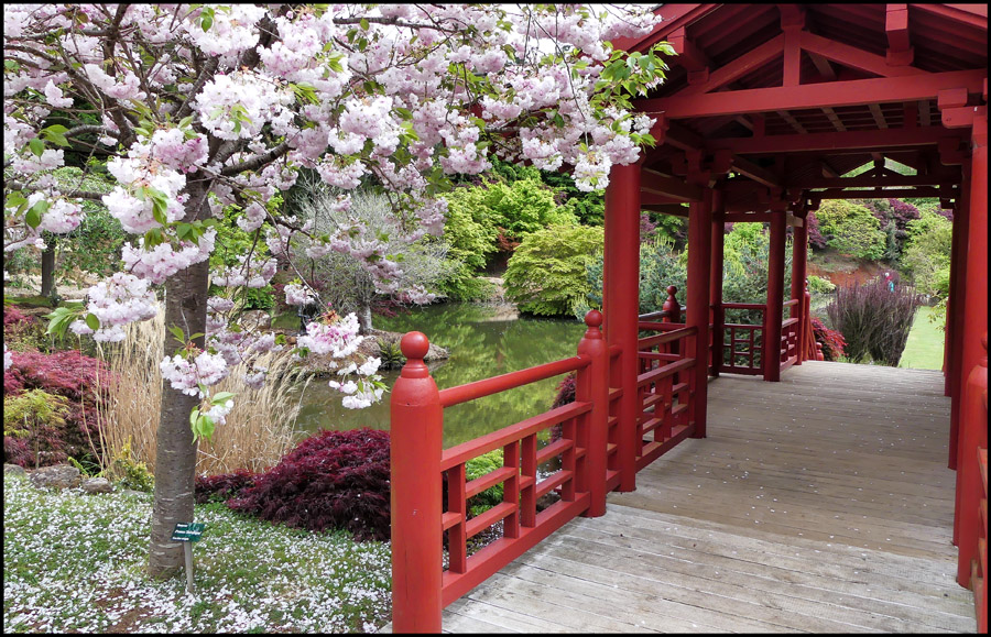 Click image for larger version  Name:Cherry blossom .jpg Views:1 Size:302.3 KB ID:31273