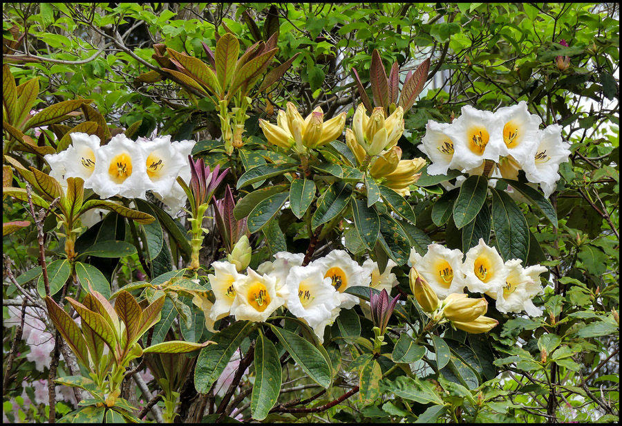 Click image for larger version  Name:White trumpets .jpg Views:1 Size:352.4 KB ID:31276