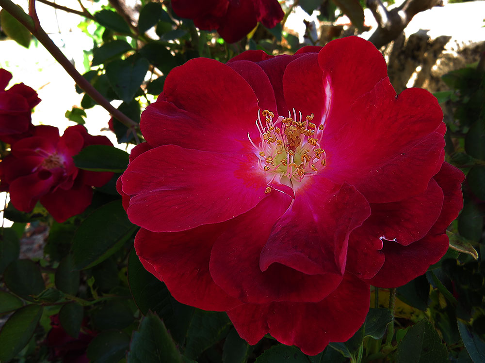 Click image for larger version  Name:Miniature Red Rose.jpg Views:1 Size:162.6 KB ID:31290