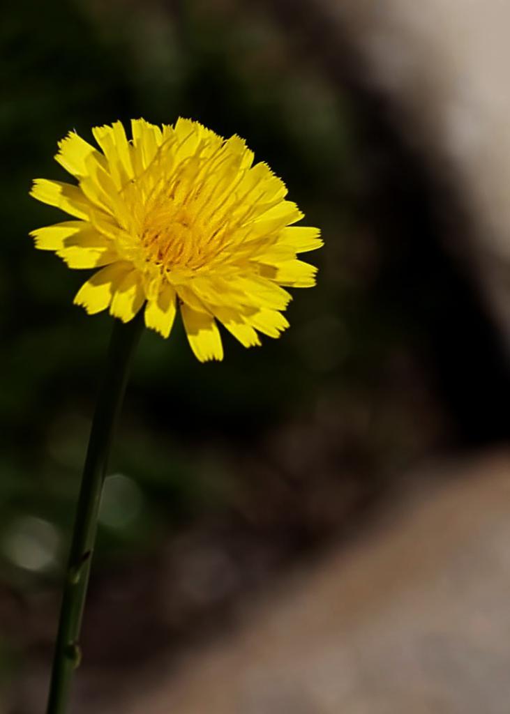 Click image for larger version  Name:eaglem-dandelion-1.jpg Views:1 Size:40.6 KB ID:31329