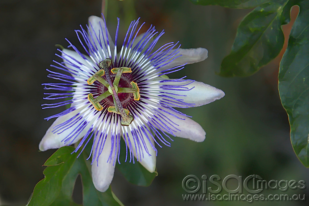 Click image for larger version  Name:Passionfruit-Flower-1.jpg Views:1 Size:195.2 KB ID:31421