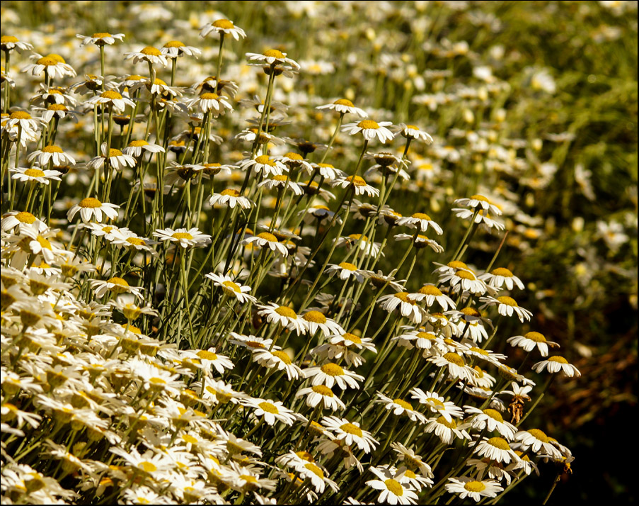 Click image for larger version  Name:Daisies .jpg Views:1 Size:364.6 KB ID:31443