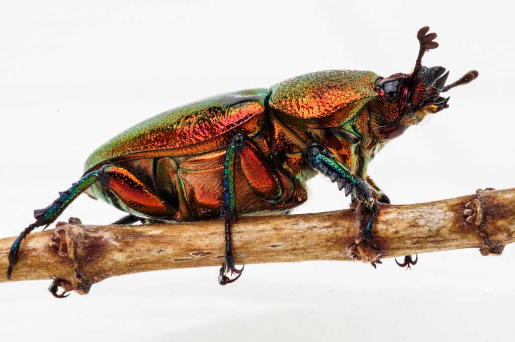 Click image for larger version  Name:Christmas-beetle-.jpg Views:1 Size:64.1 KB ID:31527