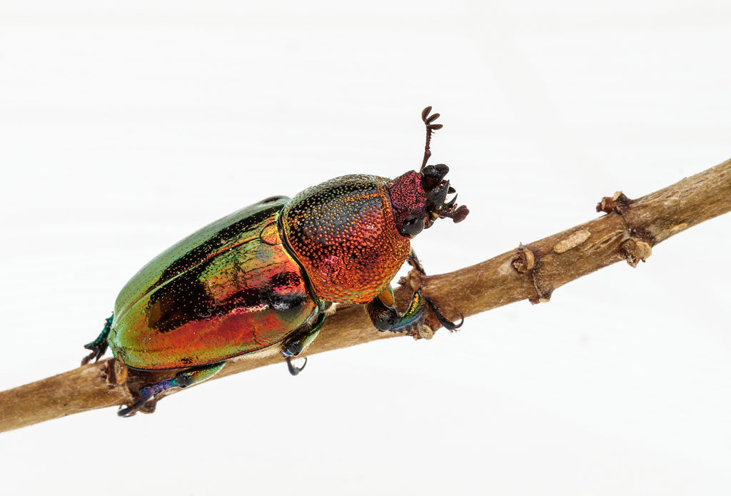 Click image for larger version  Name:Christmas-beetle-2-.jpg Views:1 Size:225.2 KB ID:31528