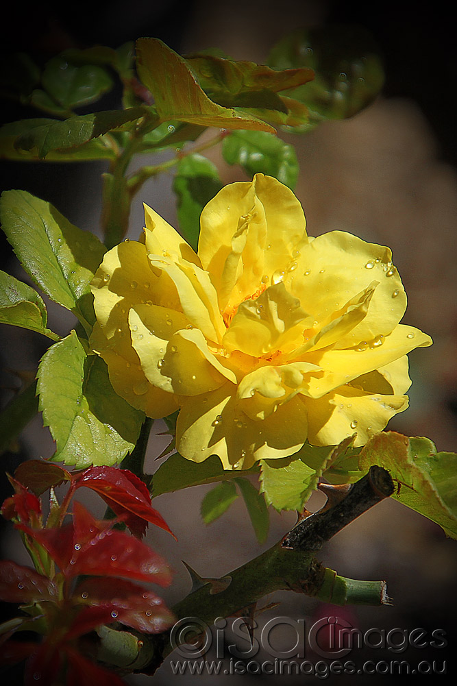 Click image for larger version  Name:Yellow-Rose.jpg Views:1 Size:191.0 KB ID:31539