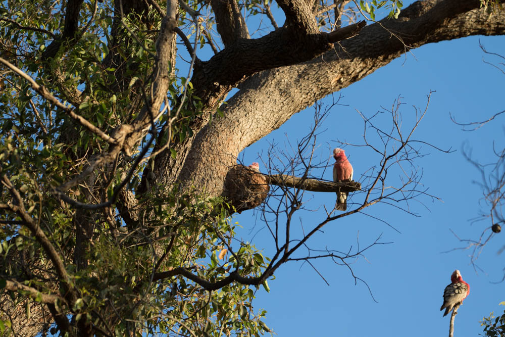 Name:  Galah nest 01.jpg