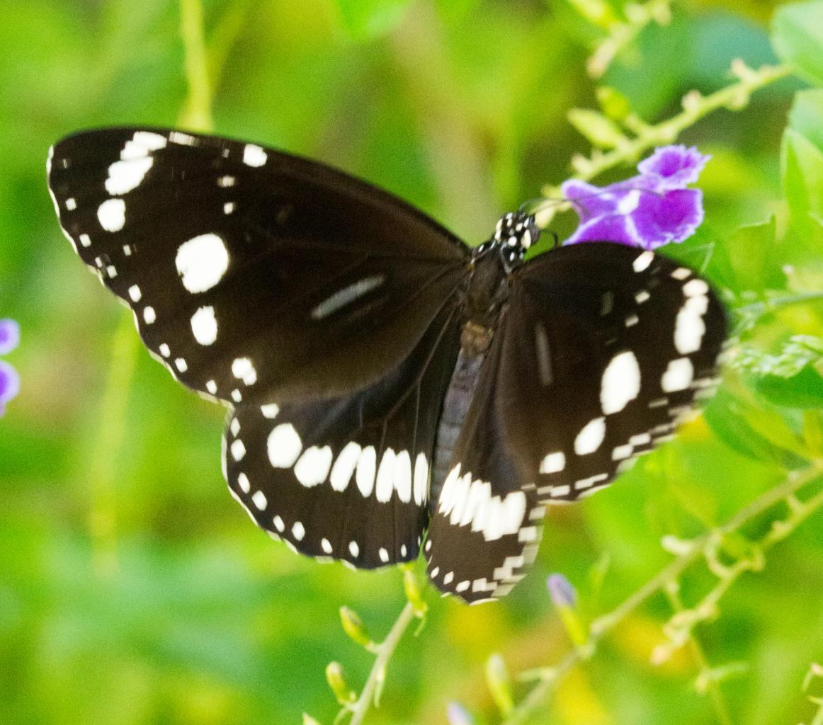 Click image for larger version  Name:Butterfly.jpg Views:1 Size:161.9 KB ID:31600