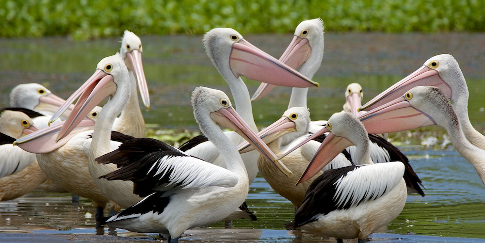 Click image for larger version  Name:Pelicans - 2.jpg Views:1 Size:173.2 KB ID:31639