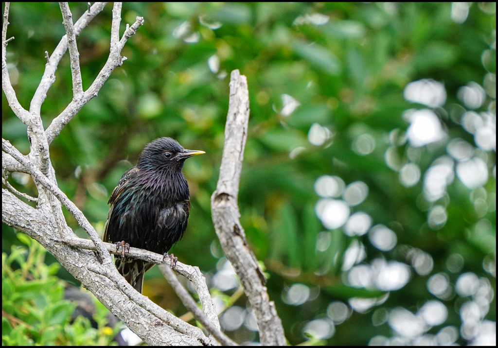 Click image for larger version  Name:Starling-.jpg Views:1 Size:246.0 KB ID:31722