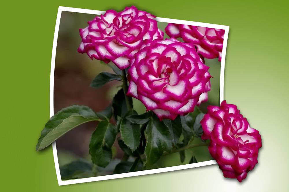 Click image for larger version  Name:eaglem-vari-rose-bunch-OOB-1000.jpg Views:1 Size:208.5 KB ID:31800
