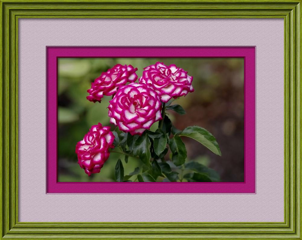 Click image for larger version  Name:eaglem-vari-rose-bunch-1000.jpg Views:1 Size:232.6 KB ID:31801