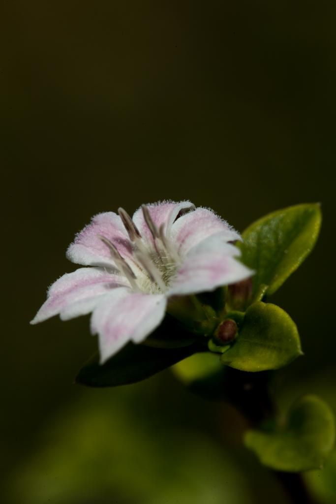 Serrissa Snowleaves a small shrub with masses of small blooms. Hardly as big as your finger nail.
